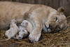 DSC_3157WM (Linda Smit Wildlife Impressions) Tags: cats white nature animal cat mammal photography big nikon outdoor african wildlife birth lion d750 cubs endangered lioness bigcats cecil carnivore lioncubs givingbirth