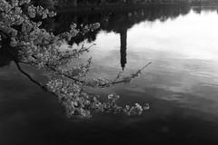 Infrared Cherry Blossoms (Mark Alan Andre) Tags: bw white black monochrome sunrise cherry washingtondc dc washington blossoms infrared bnw