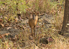 Muntjac (Barking Deer) - Muntiacus muntjak (Gary Faulkner's wildlife photography) Tags: muntjac barkingdeer satpuratigerreserve