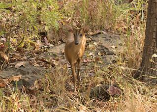 Muntjac (Barking Deer) - Muntiacus muntjak