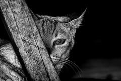 Basthet (jarbas mattos) Tags: bw cats pets brasil cat sopaulo bast gatos pb felinos pretoebranco sekhmet mammalia bastet mamfero carnivora felissilvestriscatus jacare gatodomstico mitologiaegpcia gatocaseiro ubasti baenaset ailuros gatourbano jarbasmattos