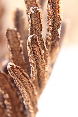ostrich fern spores (Salamanderdance) Tags: winter fern frond ostrich spore spores fertile