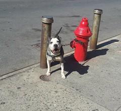 2016-04-15_10-21-18 (clarisel) Tags: newyorkcity red dog by hydrant photo bronx c clarisel gonzalez 2016
