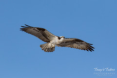 Osprey returns from Home Depot sequence - 4 of 27