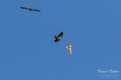 Juvenile Bald Eagles battle sequence - 1 of 5