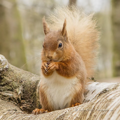 are you sitting comfortably? (pixellesley) Tags: uk animal forest woodland mammal woods squirrel sitting feeding eating endangered rare redsquirrel 2470mm 5dsr lesleygooding