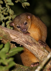 Kinkajou - Selva Verde, Costa Rica (Hard-Rain) Tags: nature mammal rainforest costarica outdoor wildlife kinkajou