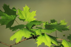 Foliage (sugob05) Tags: green maple foliage 28 bltter 135mm ahorn weltblick