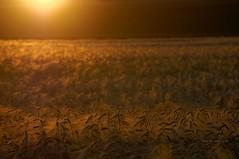 (Px4u by Team Cu29) Tags: abend sonnenuntergang landwirtschaft feld gegenlicht acker abendlicht getreide