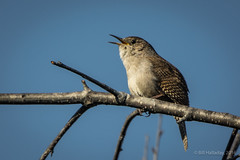 House Wren (halladaybill) Tags: california backyard coronadelmar songbird housewren troglodytesaedon bigsound matingtime nikond7100