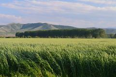 Wheat field (stryker256) Tags: wheat