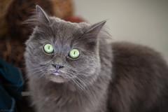 Angus (JessTheGinger) Tags: cats pets macro cute green beautiful cat silver grey eyes kitten feline small fluffy scottish kittens highlights whiskers highlight ragdoll