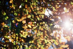 Autumn light (Katie Tarpey) Tags: autumn trees light tree film leaves 35mm afternoon kodak branches melbourne nikonfm10 fitzroygardens kodakportra400 nikkor50mm14