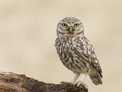 _NAT0812 (VictorD7000) Tags: espaa birds birding aves alicante nocturnas birdwatching athenenoctua rapaces mochueloeuropeo nikond7200 sigma150600sport