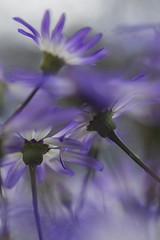 Senetti Flowers (CeriDJones) Tags: flowers blue plants macro closeup garden flora focus soft senetti