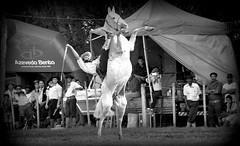Rafael Cardoso (Eduardo Amorim) Tags: brazil horses horse southamerica brasil criollo caballo cheval caballos cavalos pferde cavalli cavallo cavalo gauchos pferd riograndedosul pampa hest hevonen campanha brsil chevaux gaucho  amricadosul fronteira hst gacho  amriquedusud  gachos  sudamrica suramrica amricadelsur  sdamerika crioulo caballoscriollos criollos jineteada   americadelsud gineteada dompedrito  crioulos cavalocrioulo americameridionale caballocriollo eduardoamorim cavaloscrioulos