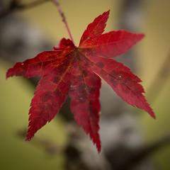 Autumn Leaves IV (Mariasme) Tags: autumn red leaf japanesemaple squareformat