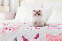 Biggs (iluv2bauntie) Tags: cat persian kitten quilt pastel kittens sleepyhead biggs persiancat lionhaircut summerhaircut catsonquilts ilovepastels himalyanpersian biggsmycat kittensquilt