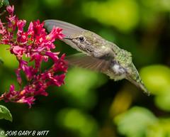Anna's Hummingbird (orencobirder) Tags: birds hummingbirds flickrexport smallbirds