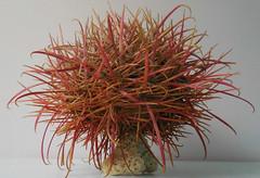 Pink (gebodogs) Tags: cactus poem sharp spines 75 tumbleweed tickledpink 116in2016 mojaveball