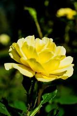 DSC_7977 (rosemaree905) Tags: autumn rose yellow nikon tasmania hobart 35mm18 nikon7100