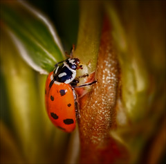 These Small Hours (kathybaca) Tags: world flowers orange cute nature bug fly spring earth wildlife small beetle insects bugs spots wishes ladybug lovely creature aphids awayhome