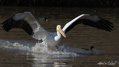Close Call (Alfred J. Lockwood Photography) Tags: winter bird nature texas afternoon flight pelican landing whiterocklake americanwhitepelican alfredjlockwood