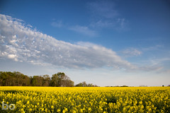 Canola in Kentucky (blacksheep_vmf214) Tags: blue sky cloud plant flower yellow clouds canon spring blossom bloom interstate canola blooming vast sideoftheroad