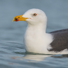 Lesser Black-backed Gull (PeterBrannon) Tags: portrait bird nature water florida wildlife gull lesserblackbackedgull larusfuscus