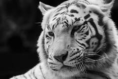 Orissa - Tigre blanc | White tiger (jordanc_pictures) Tags: animal animals zoo tiger orissa tigre whitetiger tigreblanc zoodamnville