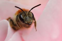Miner bee  in a camellia flower #7 (Lord V) Tags: macro bug insect bee andrena minerbee
