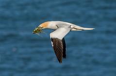 JWL9905  Gannet...., (jefflack Wildlife&Nature) Tags: nature birds countryside wildlife cliffs avian seabirds waterbirds gannet shorebirds wildbirds bempton coastalbirds