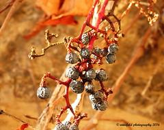 Weintrauben im Winter / Bunches of grapes in winter (photomotivjger) Tags: plants castle nature germany deutschland berries saxony natur pflanzen sachsen grapes anhalt beeren freyburg frey clue trauben