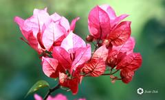 bougainvillea (Rajesh_Verma_1964) Tags: flower nature spring bougainvillea hues