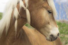 adoring ... (mariola aga~ NOinternetTillSaturday) Tags: portrait horse closeup profile braids mane admiring adoring thoughtfulness horsesmane thegalaxy whoadmireswho