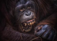 Haha - ihr msst arbeiten, ich nicht (ellen-ow) Tags: animal zoo monkey orangutan tier affen sugetiere menschenaffen nikond4 ellenow