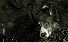 Kira, a heartwarming tribute to Pero ...... (A child in the night) Tags: wales amazing intense missing intelligence journey cumbria heartwarming tribute kira bordercollie devoted pero loyalty