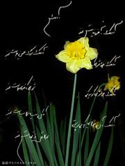Poetry (PeymanTDR) Tags: flower night poetry sheer