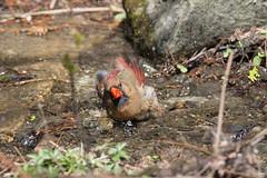 Madame cardinal au bain-10.jpg (Sylvain Bdard) Tags: montral cardinal animaux oiseau lieux jardinbotaniquedemontral