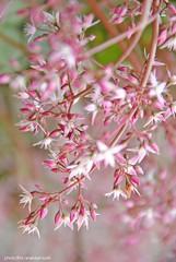 DSC_0113 Para mis amigos boreales (Aprehendiz-Ana La) Tags: pink flower primavera luz fleur argentina garden nikon flickr rosa jardn alegra fotografa serenidad analialarroude aprenendiz