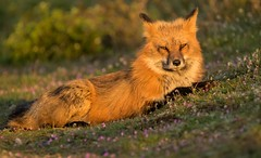 Red Fox at Sunrise (T0nyJ0yce) Tags: morning flowers light wild sun nature animals sunrise mammal dawn early colorful warm awakening wildlife yawn canine sleepy tired fox snooze glowing predator magical foxes epic goldenhour carnivore newday redfox vulpesvulpes animalsinthewild ineedacoffee canon7dmarkii tamron150600 setthealarmclock