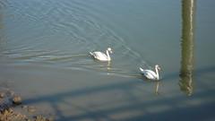 Oissel - Bords de Seine - Cygnes (jeanlouisallix) Tags: france nature seine landscape eau rivire maritime normandie animaux paysages cygnes oiseaux haute fleuve oissel palmipdes