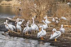 American White Pelican_MG_0228 (Explore) (918monty) Tags: water reflections dallas texas wildlife migratory whiterocklake americanwhitepelican