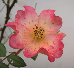 Gli ultimi - Rosa canina (vincenzolerro) Tags: languageofflowers sonyt77fiorievarie