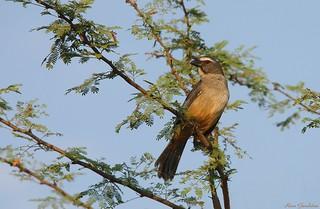 Sabiá-gongá | Grayish Saltator (Saltator coerulescens)