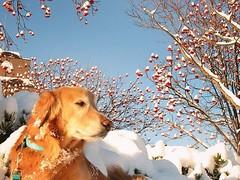 #ナナカマド の実は、食べられるのかな〜? #rowan #rowanberry  #trees #snow #winter #woods #nature  #散歩 #木 #林 #自然 #冬 #雪  #ゴールデンレトリバー #犬 #ゴールデンレトリーバー  #goldenretriever #golden_retrievers #dog #photooftheday #WebstaPets #dogs #retriever  #犬バカ部 #癒しワンコ #ふわもこ部