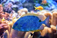 Colorful world (Sizun Eye) Tags: blue fish aquarium nikon poland polska bleu tropical d750 tamron f28 bluefish tropicalfish ryba pologne gdynia trojmiasto 2470mm poissonbleu tricity northpoland akwariumgdynskie tamron2470mmf28 poissontropical tropikalny nikond750 rybatropikalna