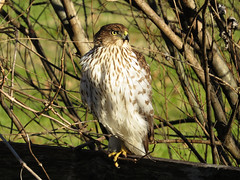 COHA_2016 (Surfishrink) Tags: virginia coopershawk accipitercooperii rectortown