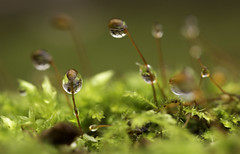 Drops (JONBRNS Photography) Tags: uk winter red england macro cute green nature topf25 water drops warm natural bright sweet bokeh surface explore tiny british drips tension stalks smalls