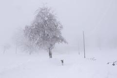 speedy white walk. (jrseikaly) Tags: winter lebanon dog snow tree nature jack photography cedars seikaly jrseikaly